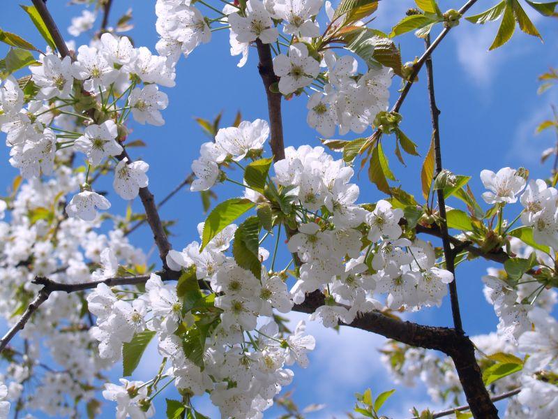 Jarní údržba ovocných stromů