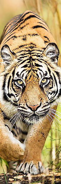 Puzzle Plížící se tygr 300 dílků 16x48cm v krabici 10x26,5x4,5cm