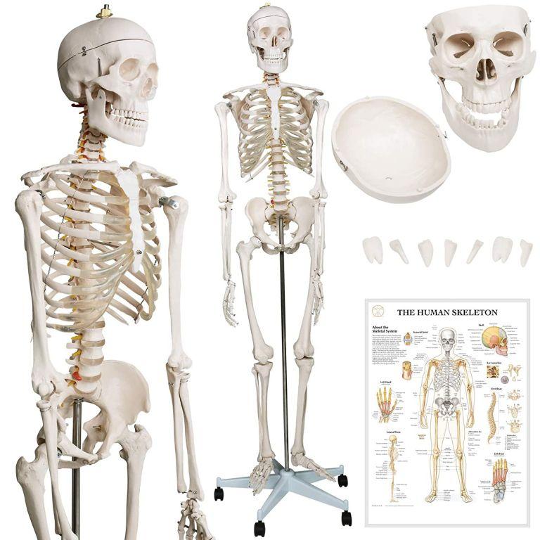 Kostra lidské anatomie 181,5 cm